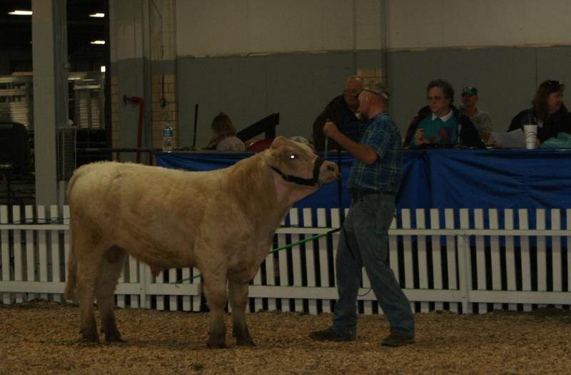 Champion Bull 2013 Kentucky Beef Expo